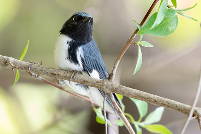 375- Black-throated Blue Warbler