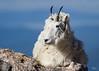 Mountain Goat, Rocky Mountain National Park