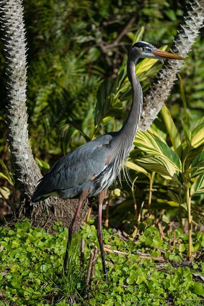 Great Blue Heron, full body profile