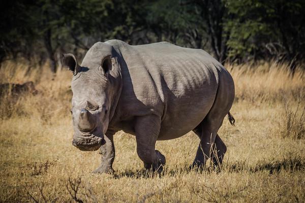 White Rhino in Zimbabwe