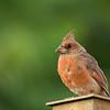 Cardinal on fence post.