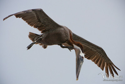 A flock of pelicans were headed my way and this particular bird fellow caught my attention with its headed drooped down.