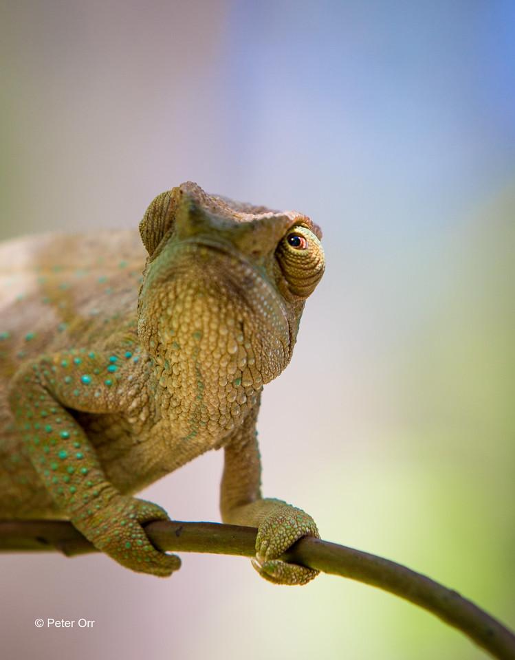 Female Parson's Chameleon