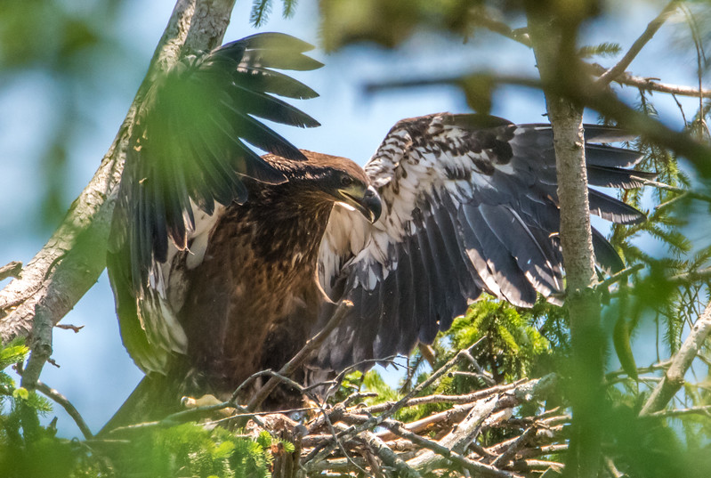 Bald Eaglet Testing Its Wings 6/7/16