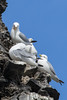Nesting kitiwakes