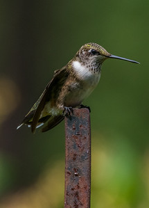 Ruby-Throated Hummingbird 8/23/18