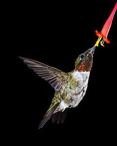 Ruby-throated Hummingbird 5