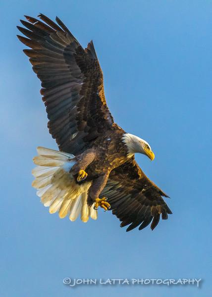 Bald Eagle Reacts to Seeing Kokanee