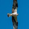 Osprey on the Hunt 5/7/17