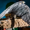 Peregrine Falcon 3/1/16
