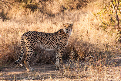 Tshukudu Game Reserve - Cheetah