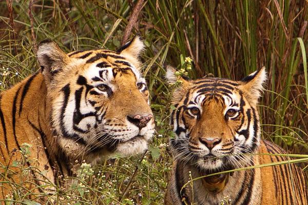 Tiger couple