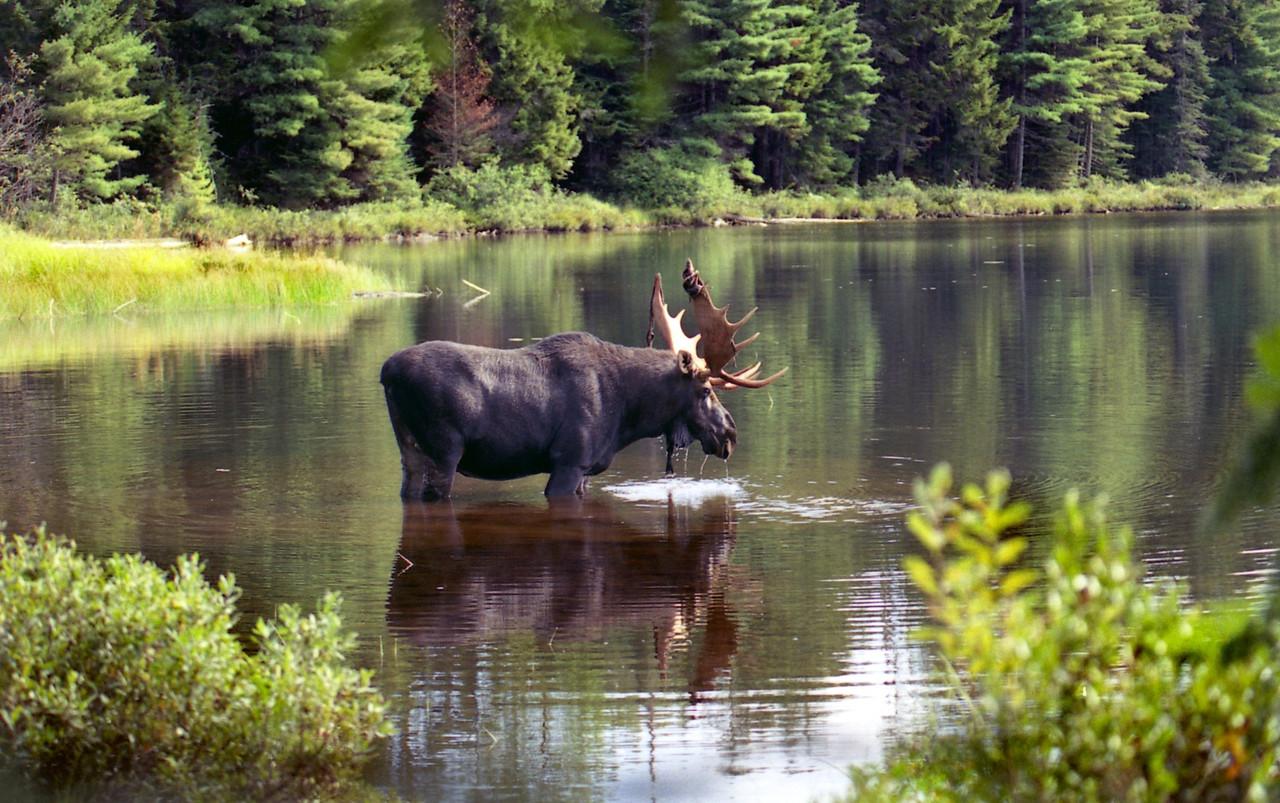 Bull Moose - Maine