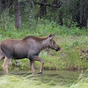 Moose Calf walking through the pond