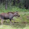 Moose Calf walking through the pond