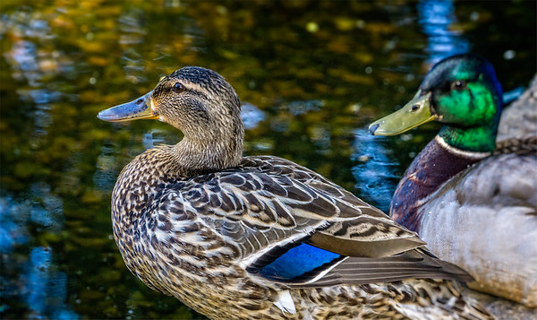 Partners - Male and Female Mallard Ducks
