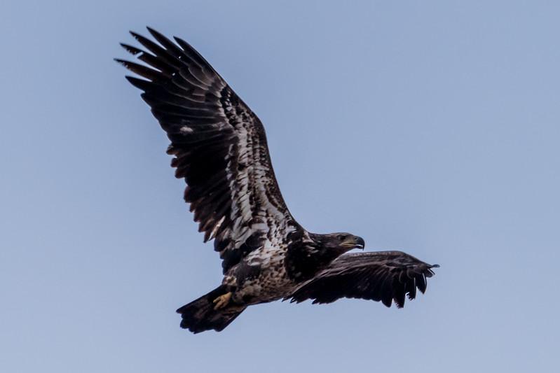 Juvenile Bald Eagle 2/15/17