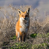 Red Fox in Evening Light