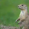 Prairie Dog (Cynomys) in Fort Niobrara National Wildlife Refuge near Valentine, Nebraska