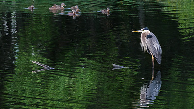 Great Blue Heron overlooking at family of ducks
