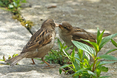 A Sparrow feeds an oat to its young, Tullamore 2017