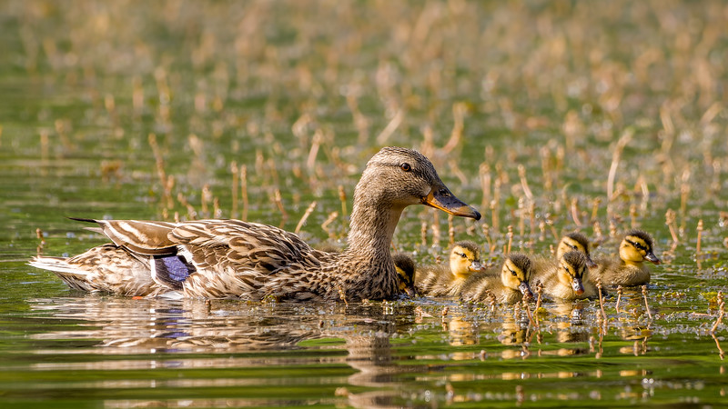 Mallard Female With Ducklings