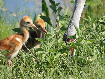 Sandhill Cranes, Adult and Colts,  Lake Woodruff Wildlife Refuge