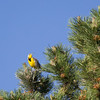 Meadowlark in the Sun