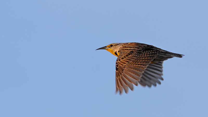 Flight of a Grassland Songster