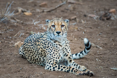 Cheetah ... South Africa
