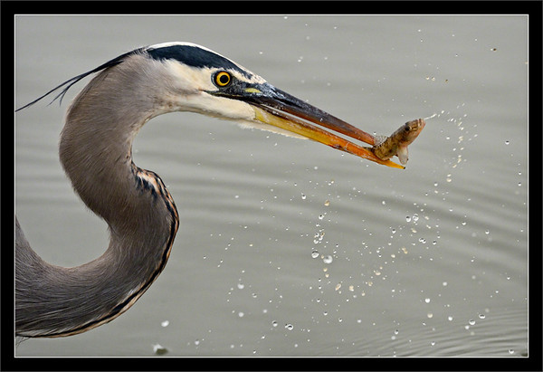 Great Blue Heron: Fresh Catch  A great blue heron plucks a yellowfin goby out of the water.  Shoreline Park Mountain View, California  30-OCT-2012