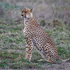 Female cheetah in the rain, Ndutu, Tanzania, East Africa