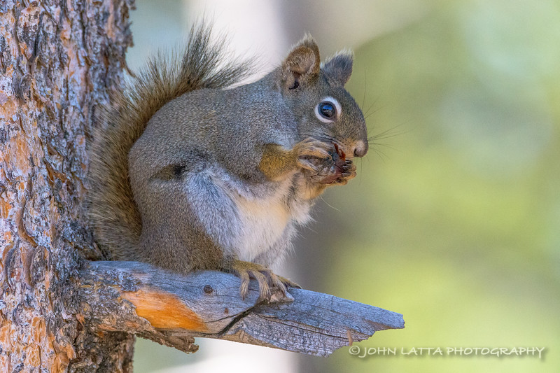 American Red Squirrel Eating Pine Cone