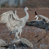 Sandhill Cranes Dancing 4872