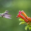 Ruby-Throated Hummingbird 7/23/17