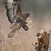 Buzzard landing