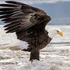 Bald Eagle in the Ice