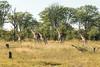 Running giraffes