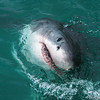 Great White's Smile