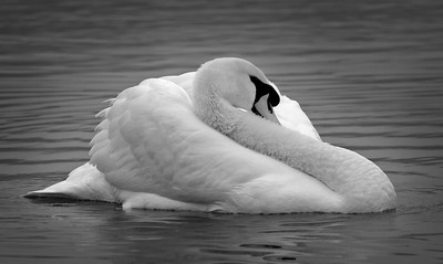 Back and White Swan