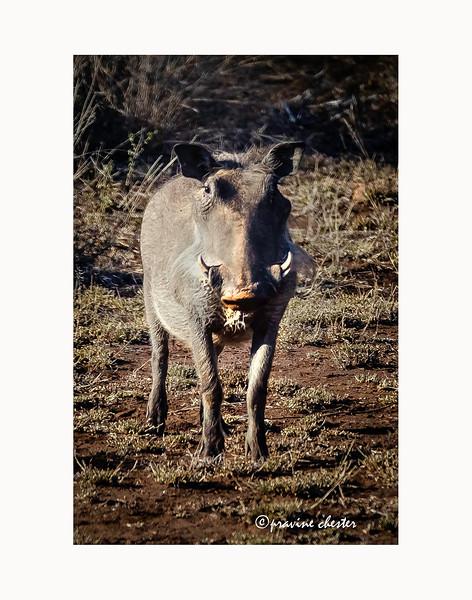 Warthog Stare