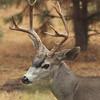 Four Point Buck