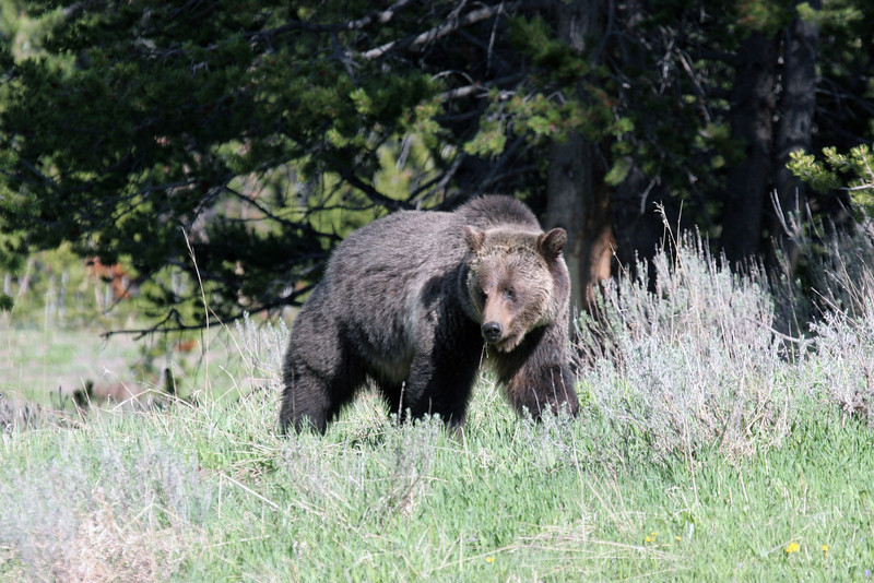 Grizzly Bear - near Fishing Bridge, Yellowstone National Park