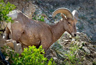 Bighorn sheep near Colorado Springs, Colorado.