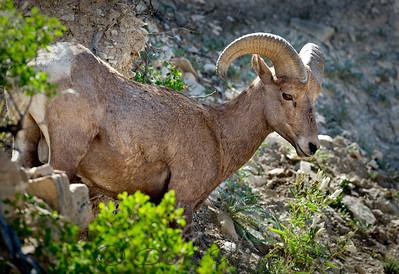 Bighorn sheep near Colorado Springs, Colorado.