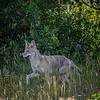 Coyote along Red Rock Canyon Road, Waterton Glacier National Park, Alberta, Canada