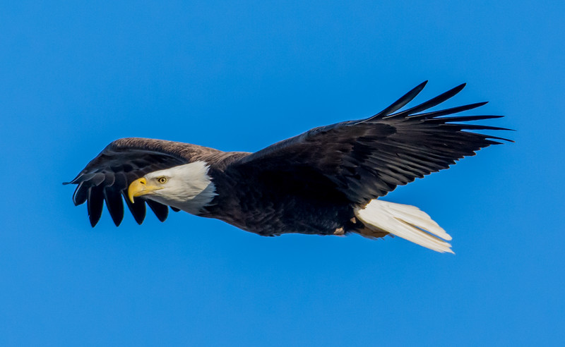Bald Eagle in Flight 2/11/16