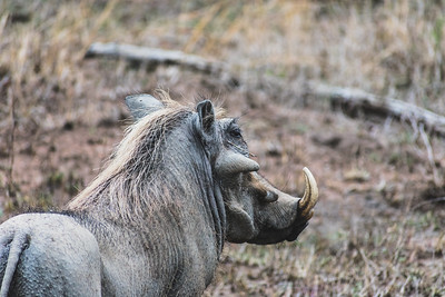 Warthog, Kruger National Park, South Africa