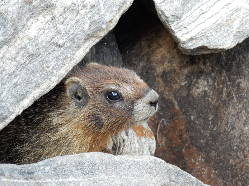 Marvin the Marmot
