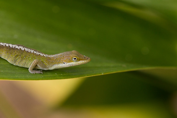 A Cast Iron Plant was the perfect setting to capture an image of a Green Anole.  I love the colorful detail in the skin reminding me a counter backsplash.